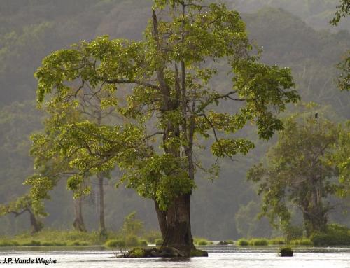 Un'albero sul fiume Ivindo