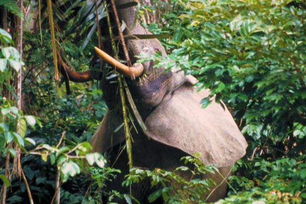 Un'Elefante che cerca qualcosa sull'albero