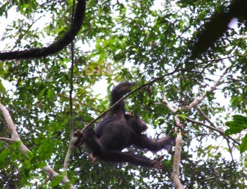 Giovane scimpanze