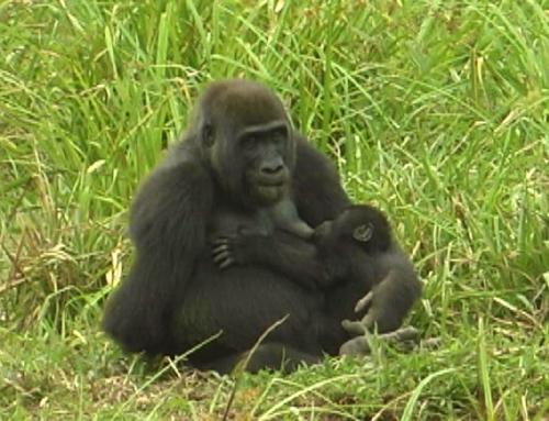 Gorilla del Langoue