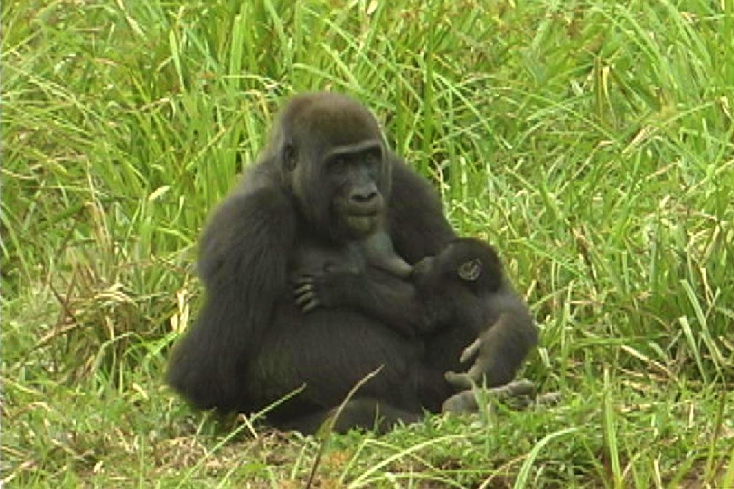 Un gorilla con il piccolo nella foresta del Langoue