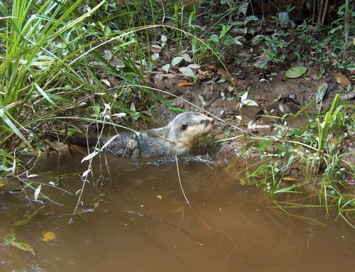 Lontra che esce dal fiume del Parco dell'Ivindo