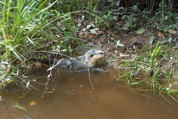 Lontra che esce dall'acqua del fiume