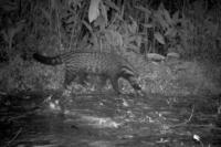 Animale gira di notte in cerca di cibo