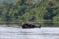 Elefante che attraversa il fiume Ivindo