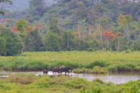 Panoramica, elefanti che camminano nel fiume vicino la foresta