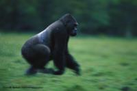 Gorilla sotto la pioggia che corre nella foresta