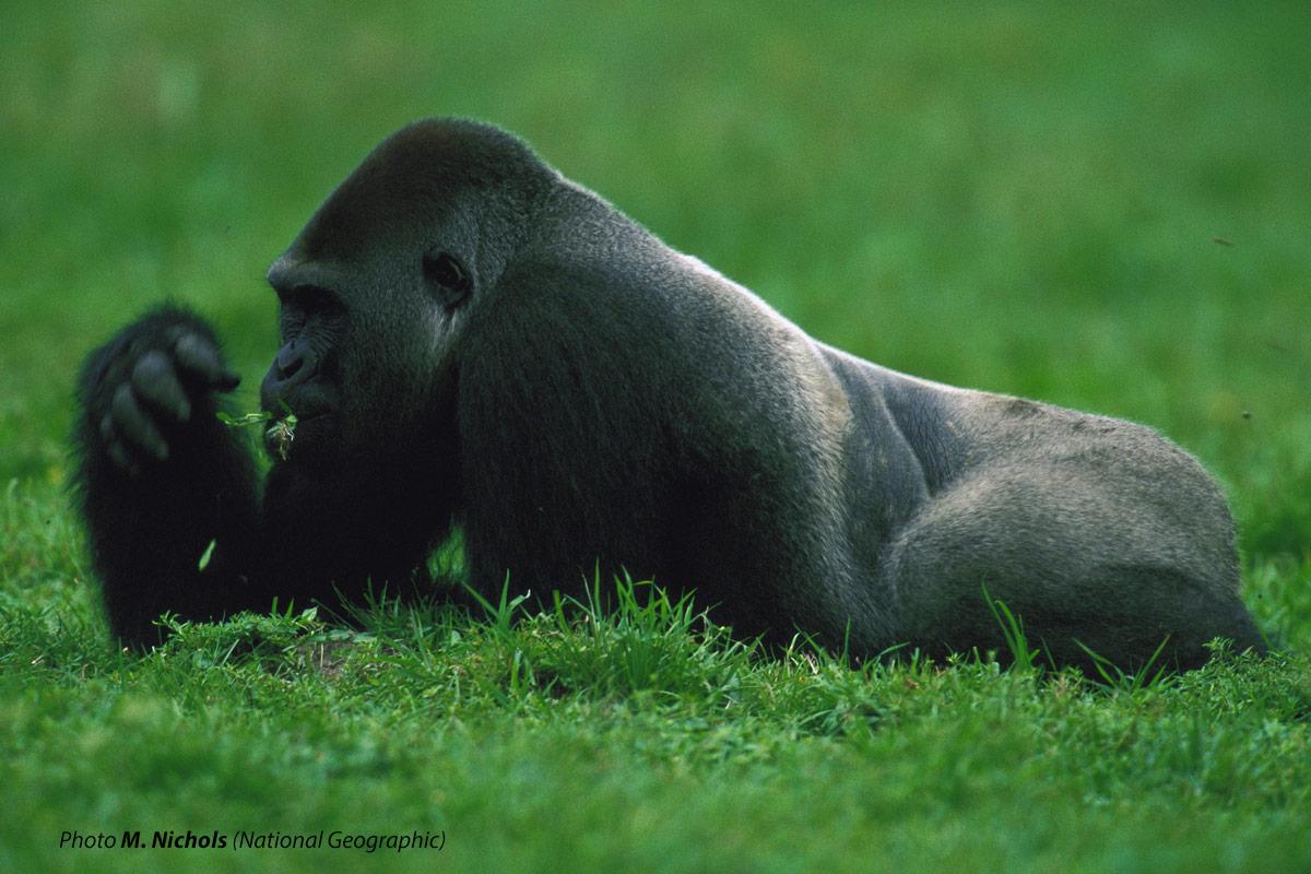 Gorilla che mentra mangia si osserva attorno