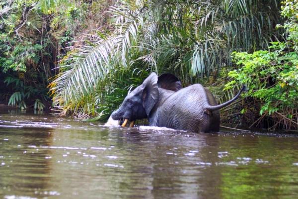 Elefante accanto alla riva, che si osserva attorno