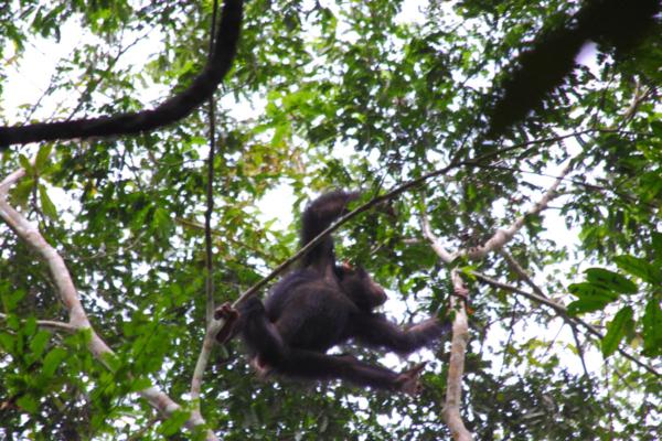 Molti animali girano nella foresta tra questi abbiamo trovato un giovane scimpanze