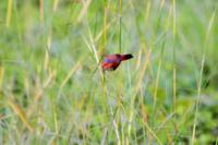 Uccellino appollaiato ad uno stelo d'erba